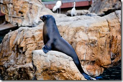 sea lion2 (1 of 1)
