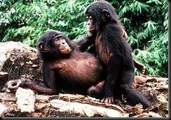 sci-bonobo-ape_4