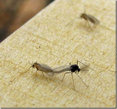 20081121 Gymnometriocnemus brumalis 1