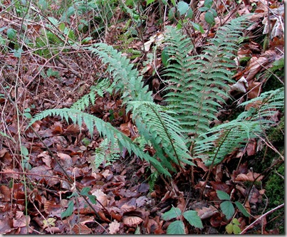 20081215 BHW Cpt 6c ditch & soft shield-fern