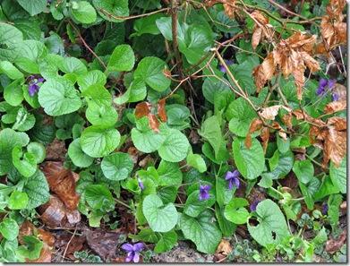 20080209 Viola odorata 001
