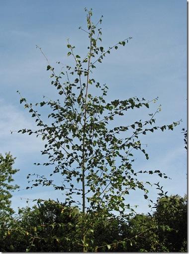 20090801 Metre Thistle Moor birch 018
