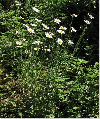 20100614 Killingan ox-eye daisies 023