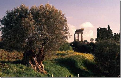 ulivo-della-valle-dei-templ