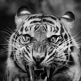 Angry by Dikky Oesin - Animals Lions, Tigers & Big Cats ( wild, danger, tiger, stripes, animal )