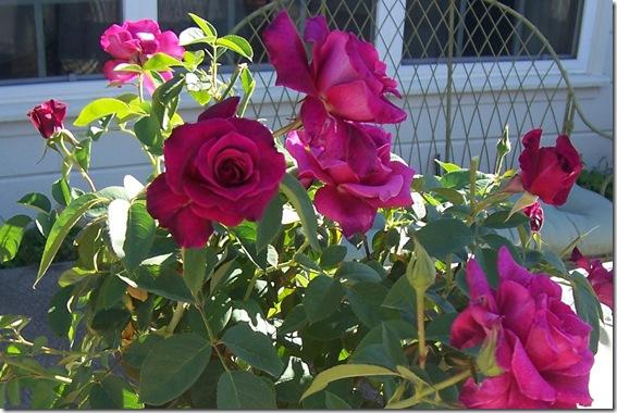 burgundy rose 2