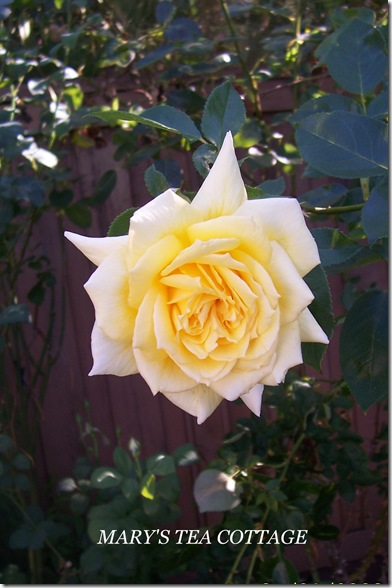 yellow single rose