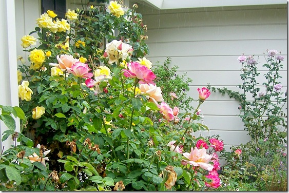 yellow and pink roses in front yard