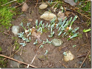 snowdrops and dafs Jan.28 [50%]