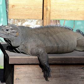 Rhino Iguana by Milton Moreno - Animals Reptiles ( reptiles, lizard, animals, green, iguana, reptile )