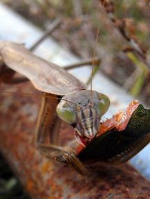 カメムシを食すカマキリ