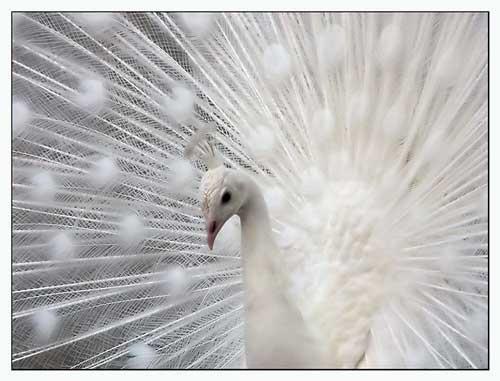 ATT2-albino-peacock.jpg