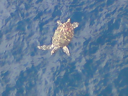 Managed to see turtle and dolphin at bravo platform..best!