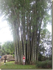 giant bamboo from burmaq (Small)
