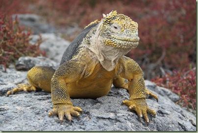 iguana9