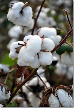 cotton time 091010 (5)