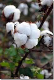 cotton time 091010 (10)