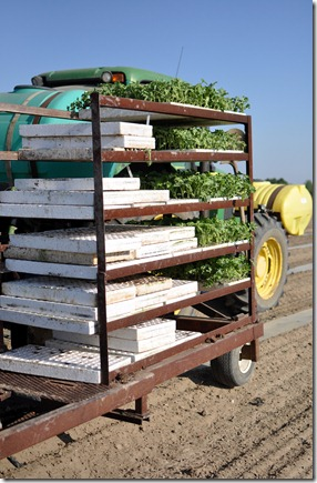transplanting watermelons 0311 (45)