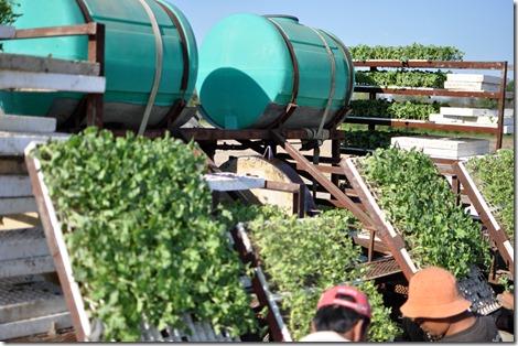 transplanting watermelons 0311 (19)