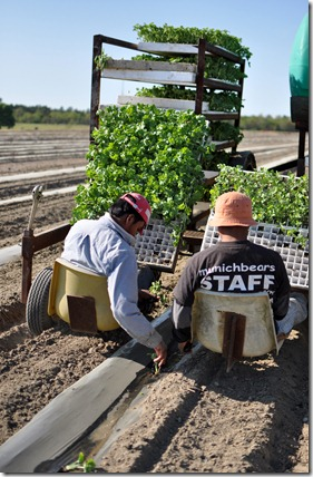 transplanting watermelons 0311 (14)