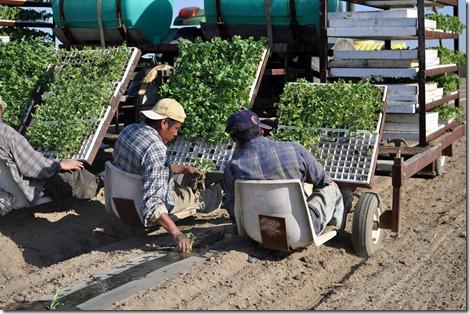 transplanting watermelons 0311 (34)