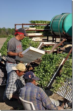 transplanting watermelons 0311 (41)