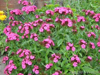 Sweet William in bloom