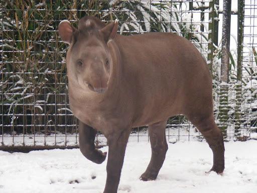 http://lh6.ggpht.com/_Dan11Nil7Vs/SYCnAndbu7I/AAAAAAAAPhA/ZeSR5lOXydk/01-lowland-tapir-robbins-dudleyzoo-2009-01-04.jpg