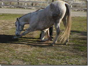 bowing horses ass