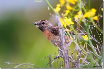 Tarabilla común hembra con fibras vegetales para tapizar el nido.