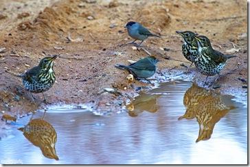 Grupo de zorzales apagando la sed y una pareja de currucas.