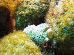 Lettuce Seaslug