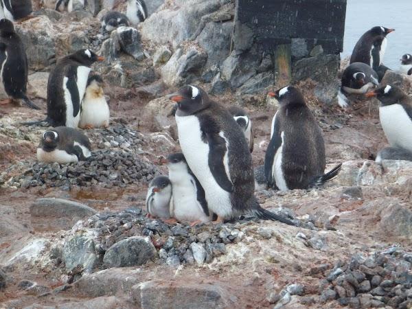 4. familie de pinguini.JPG