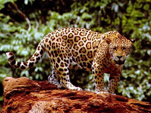 The 7 Big Cat Species_www.wonders-world.com_1166080771