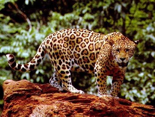 The 7 Big Cat Species_www.wonders-world.com_1166080771