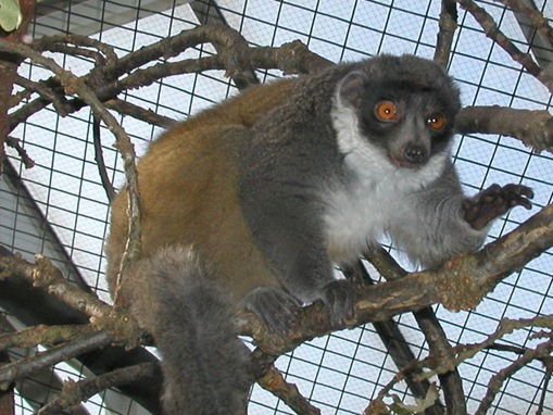 Lac_Alaotra_Gentle_Lemur