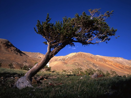 Bristlecone-Pine-Forest_www.wonders-world.com_01