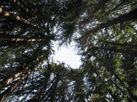Ring of sequoias