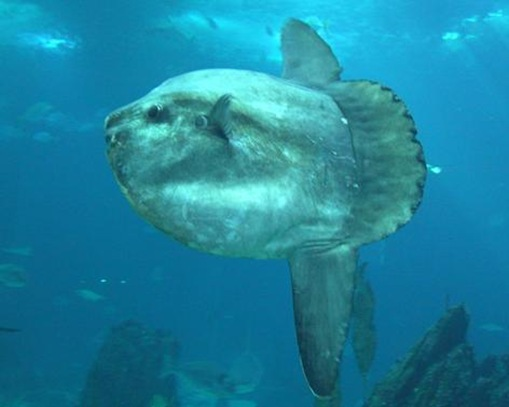 The Ocean Sunfish