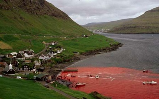 dampak pembunuhan massal ikan lumba lumba di denmark
