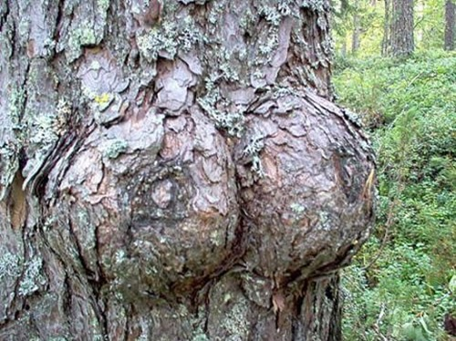 The Tree with the Boobs