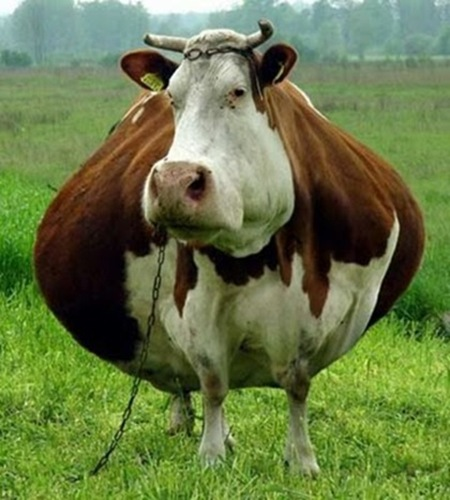 Amazingly Fat Animals