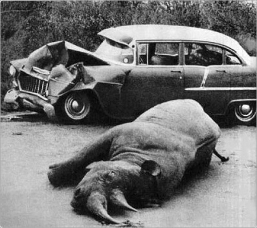 animals-attacking-cars-19