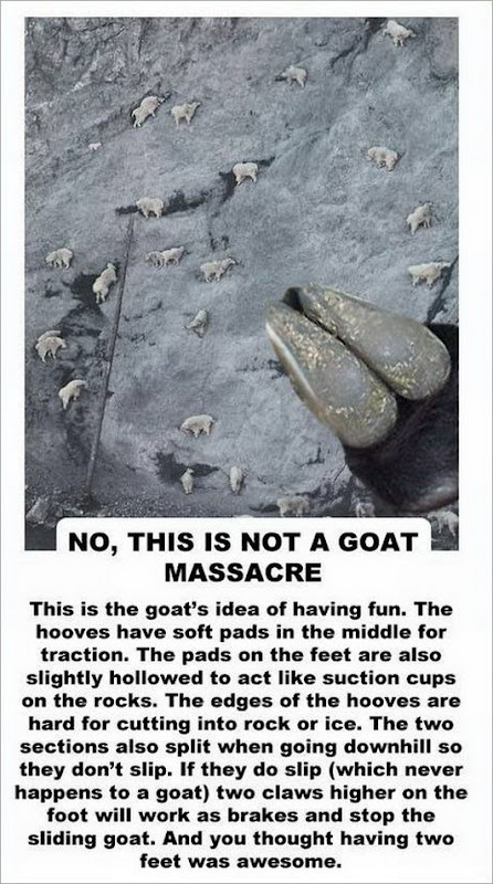 facts about the goat -2147483648