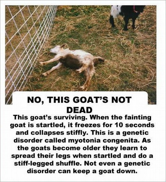 facts about the goat -2147483647