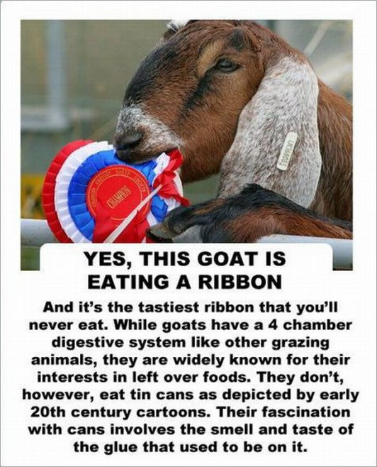 facts about the goat -2147483646