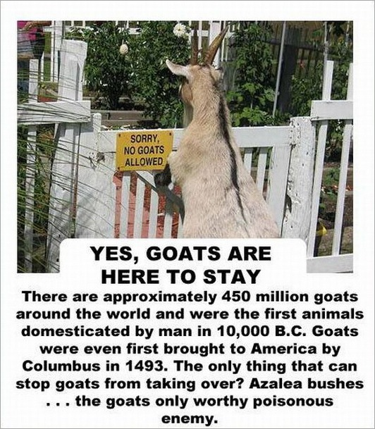 facts about the goat -2147483641