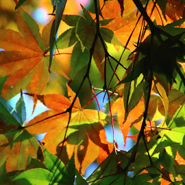 Japanese Maple by Sarah Thomas - Nature Up Close Trees & Bushes