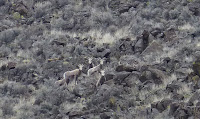 Mountain Sheep seen in Reynolds Canyon