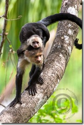 White-headed Capuchin monkey with Baby